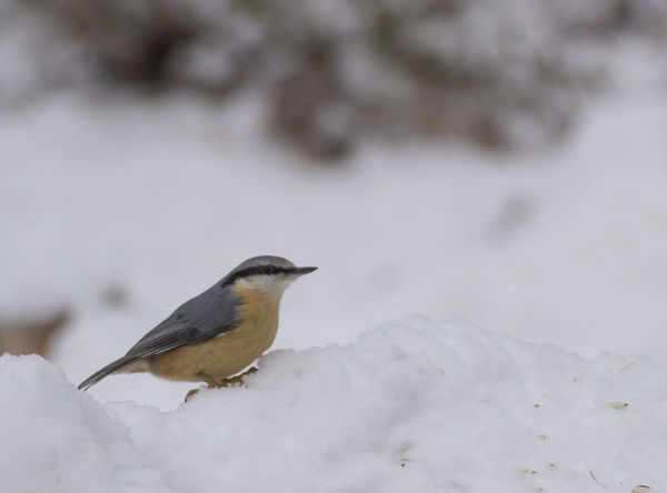 eurasian nuthatch Eurasian Nuthatch Sitta Europaea Animal Themes Animal Wildlife Animals In The Wild Bird Close-up Cold Temperature Day Nature No People Nuthatch One Animal Outdoors Perching Snow Winter