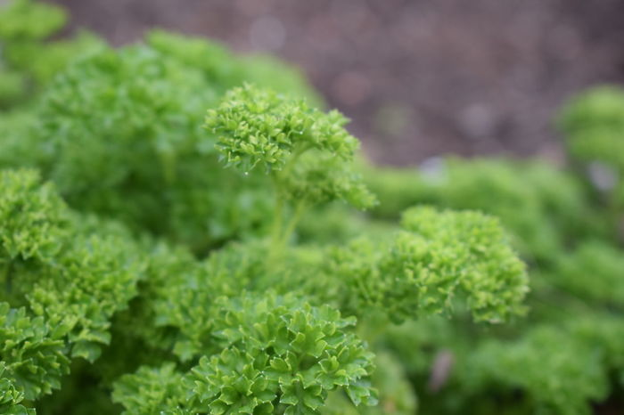 Detoxification Diet Flavour Fresh Garden Green Growth Harvest Healthy Healthy Lifestyle Herb Motivation Organic Parsely Raw Food Taste Vegan
