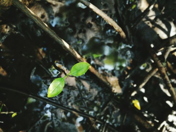 Plant Growth Nature Leaf Close-up Outdoors Beauty In Nature No People Beginnings Mangrove Forest