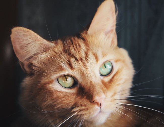 Domestic Cat Domestic Animals Pets Feline Mammal Focus On Foreground One Animal Whisker Animal Themes Close-up Indoors  No People Portrait Day