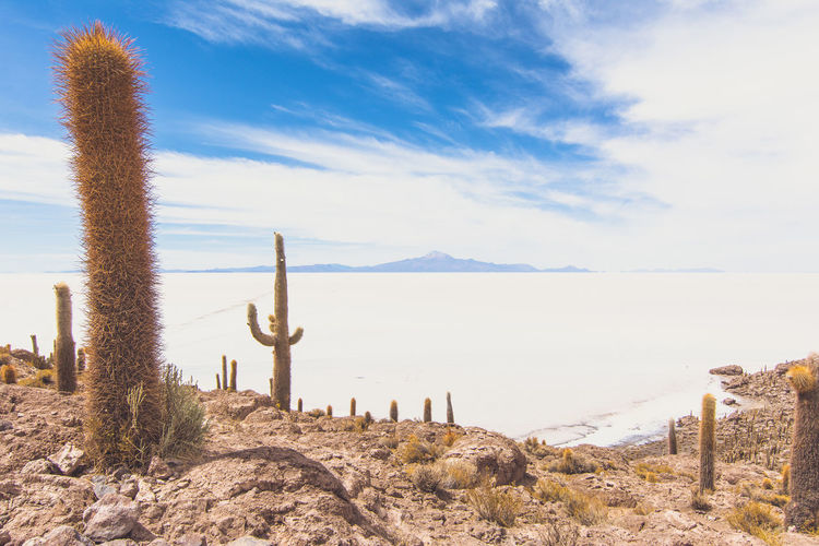 Isla Incahuasi - The Bolivian Salt Flats Cacti Cactus Cactus Flower Cactus Garden Cactus Paradise Isla Incahuasi Tokina 11-16 Mm F/2,8 Uyuni Uyuni - Island Of Salt Uyuni Salt Flat