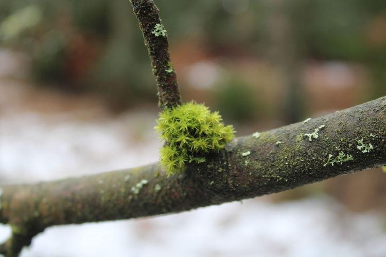 Close-up of lichen on branch