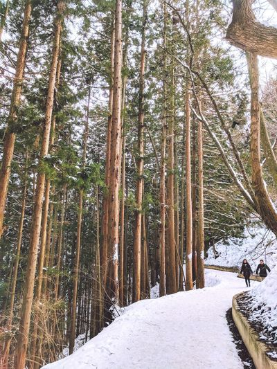 The walk to the snow monkey park in Japan! The height of the trees is impressive!!! Forest Japan Japan Photography Snow Monkeys Forest Photography Snow Winter Cold Temperature Tree Nature Forest Beauty In Nature Pine Tree Tree Trunk Outdoors Pinaceae Tranquility Growth Go Higher