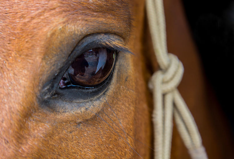 Close up of an eye of a by horse wearing a rope halter Bridle Chestnut Reflection In Eye Animal Body Part Animal Head  Brown Equine Extreme Close-up Eye Eyelashes Herbivorous Horse Mammal One Animal One Person Pet Portrait Rope Halter Vision