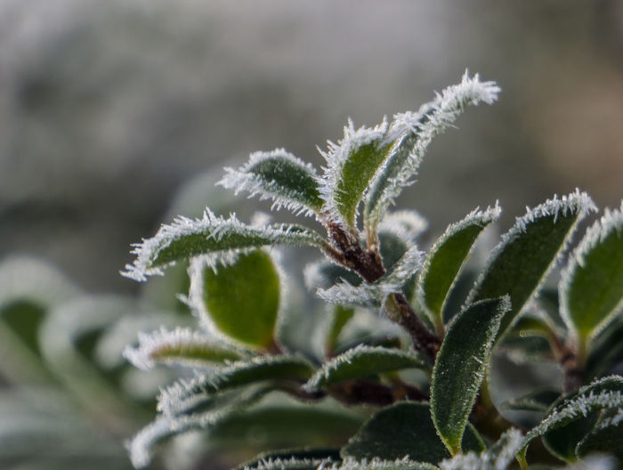 Frost covered leaves on a bush Shrub Beauty In Nature Abstract Nature Outdoors Freezing Frozen Bush Leaves Ice Formation Ice Crystal Green Green Leaves Branch Leaf Close-up Sky Plant Plant Life Weather Condition Cold Ice Crystal Frost Icicle