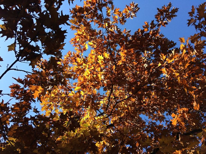 Autumn Autumn Colors Autumn Leaves Yellow Leaves Autumn Beauty In Nature Branch Clear Sky Day Growth Highlights And Shadows Leaf Low Angle View Nature No People Outdoors Scenics Sky Sky Background Tree