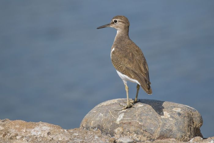 Common Sandpiper Animals In The Wild Bird Side View Outdoors Full Length Animal Close-up Portrait Nature Animal Themes Day No People One Animal Waterfowl Sand Nature Sky Beak Sea Life Birds🐦⛅ Bird Photos Beauty In Nature Blue Beach Sunny