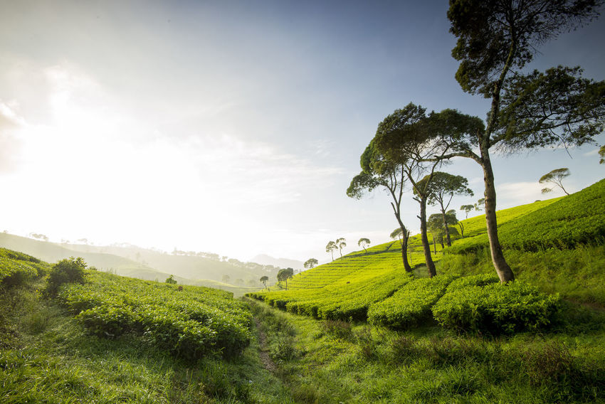 Tea Field in The morning with the blue sky