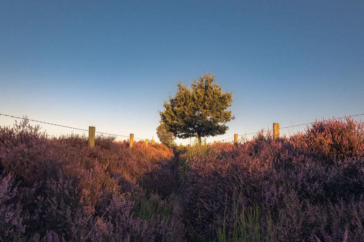 Purple flowers growing on field against clear blue sky