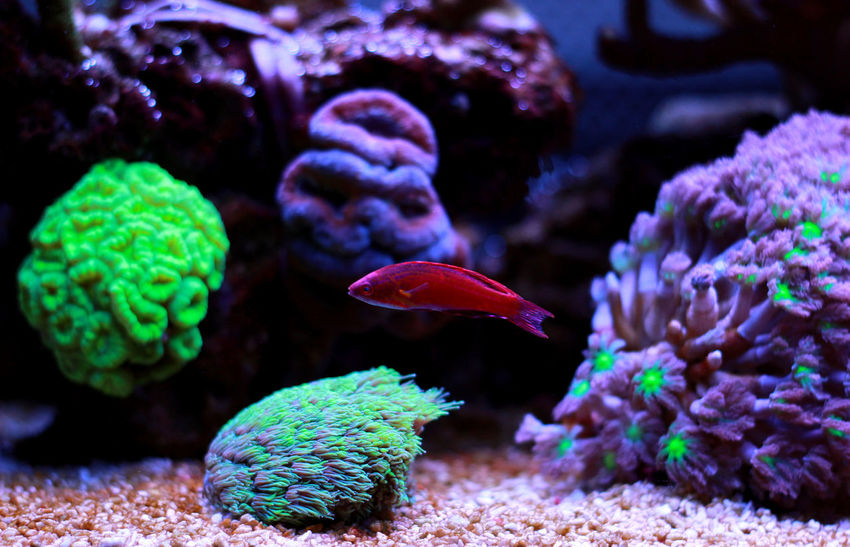 Fish Multi Colored Filamented Flasher Wrasse Paracheilinius Filamented Wrasse Wrasse Sea Fish Tank Flasher Wrasse Wrasse Fish Aquatic Fishes Aquatic Life Aquarium Life Reeftank Aquarium Fish Aquaculture Fish Photography Coral Reef Fish Aquarium Photography Coral Reef Aquarium Aquarium Reef Tank Coral Fish Saltwater Fish