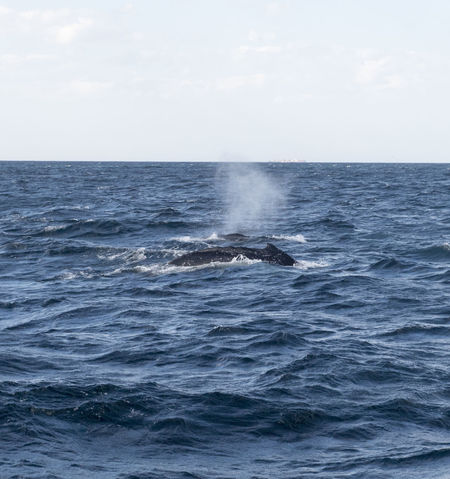 Animal Animal Themes Animal Wildlife Animals In The Wild Aquatic Mammal Beauty In Nature Horizon Horizon Over Water Humpback Whale Mammal Marine Motion Nature No People One Animal Outdoors Sea Sea Life Sky Spraying Tail Fin Underwater Water Whale