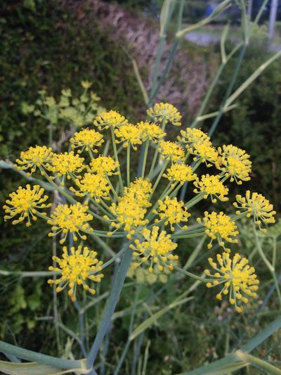 Fennel Flower Beauty In Nature Blooming Flower Head Yellow Nature Flowers Flowers,Plants & Garden Flower Collection Flower Photography