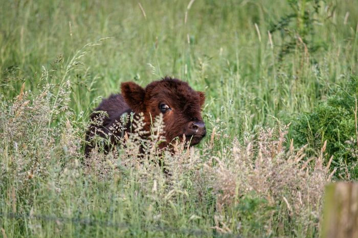 Alertness Animal Animal Themes Beauty In Nature Brown Close-up Day Field Focus On Foreground Grass Grassy Green Color Growth Kalf Mammal Nature No People Outdoors Plant Portrait Selective Focus Wildlife