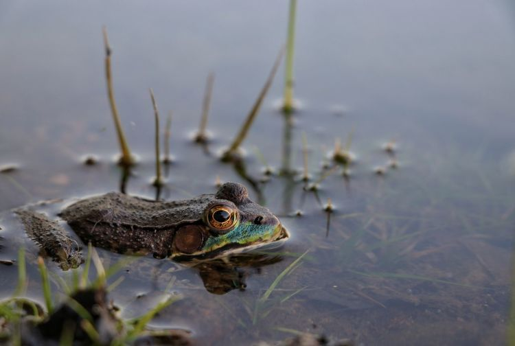 I thought I was done taking photos of frogs, but last weekend I came across this beauty and couldn't resist! ; ) Frog Outdoors Nature Beauty In Nature Cottage Country Riverside Relaxing Weeds Ontario, Canada Water Close-up Animal Eye Animal Head  Yellow Eyes 10