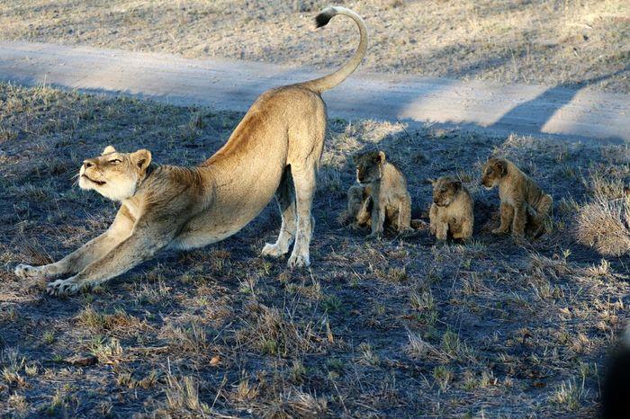 Lion Cubs Lioness African Safari Africa Sabi Sands Kruger Park Krugernationalpark Wild Animal Wildlife Photos Wildlife Photography Animals In The Wild Animal Collection Animal Photography Animal Love Animal Portrait Wildlife & Nature Animallovers Catstagram Catsofeyeem Animal Themes