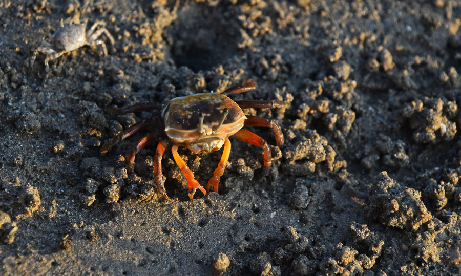 Life of small shelf crabs at coastline of Krabi, Thailand Animal Battle Battlefield Chela Claw Close-up Crab Crabs Day Defender Home Marine Marine Life Nature Nature's Diversities Protecting Sand Sea Sea Life Sealife Shelf Shore Small