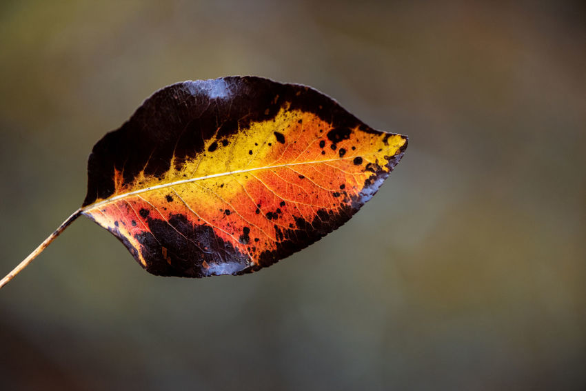 A leaf - Probably from a pear tree... Autumn Autumn colors Autumn Leaves Nature Photography Close-up Leaf Leaves Fragility Botany Plant Plant Part Plant Life Fall Fall Colors Fallen Leaf Colourful Simplicity Nature Beauty In Nature Bokeh Withering Holding Setup Leaf Vein Fallen
