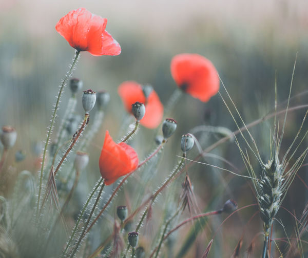 EyeEm Best Shots EyeEm Nature Lover EyeEm Selects EyeEm Gallery Beauty In Nature Close-up Day Field Flower Flower Head Flowering Plant Focus On Foreground Food Freshness Fruit Growth Land Nature No People Outdoors Plant Poppy Red Selective Focus Tranquility