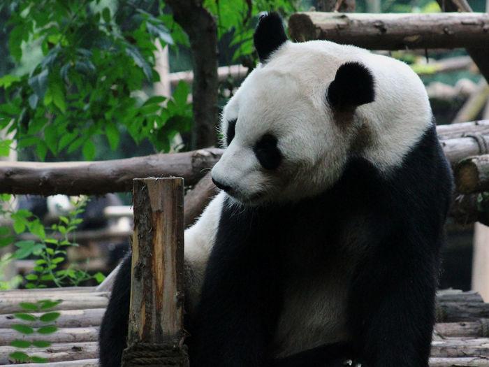 Panda by wooden railing in zoo
