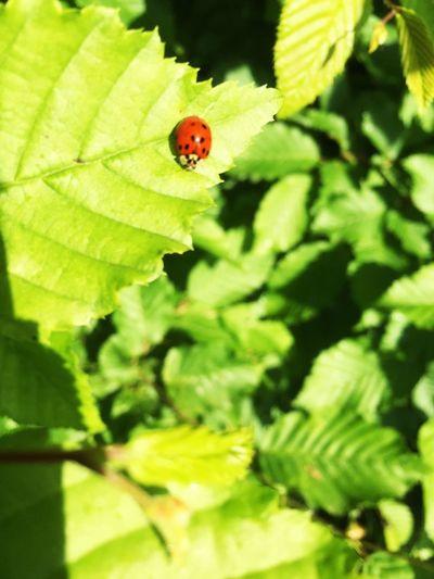 Marienkäfer auf Blatt Ladybug Ladybird