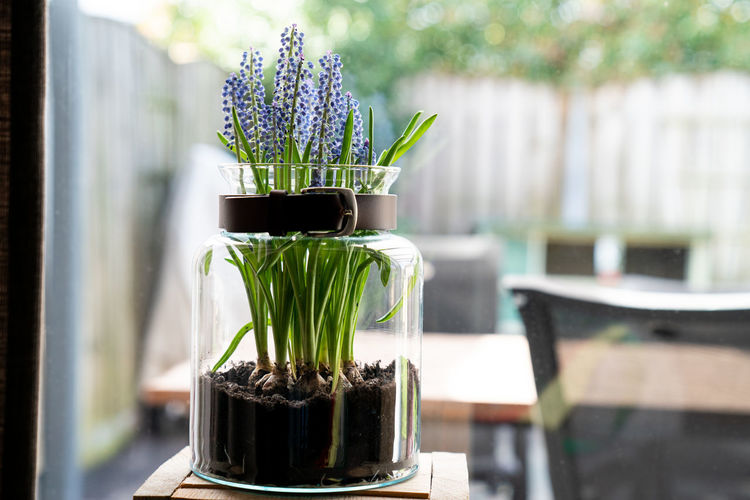 Grape hyacint in a vase Plant Flower Flowering Plant Freshness Focus On Foreground Table Nature Potted Plant Beauty In Nature Day Growth Green Color Glass - Material Sunlight Flower Pot Houseplant Container Still Life Purple Spring Spring Flowers Muscari Botryoides Grape Hyacinth Ground Vase