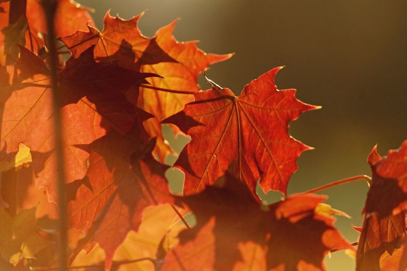 Close-Up Of Orange Maple Leaves During Autumn
