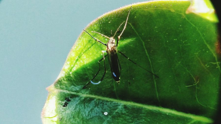 Freshness Nature Outdoors Macro Photography Close-up No People Beauty In Nature Bugs Life Fresh Green Leaves Super Macro Mosquito Aides Aigepty