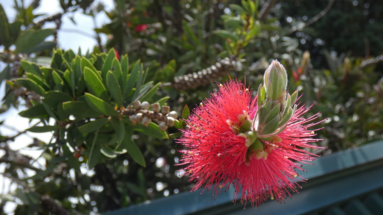 growth, plant, beauty in nature, freshness, flower, flowering plant, vulnerability, close-up, fragility, focus on foreground, petal, red, nature, day, flower head, no people, inflorescence, green color, pink color, botany, pollen, outdoors, spiky