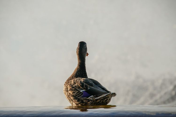 Close-up of a duck swimming in lake