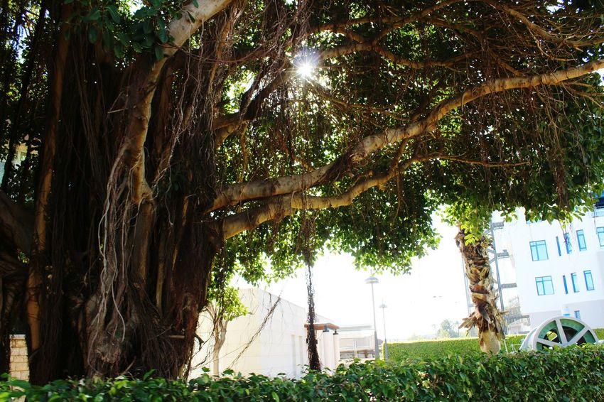 Tree Nature Green Color Outdoors No People Day Branch Beauty In Nature Tree Alicante Nature City Life Beautiful Nature Beauty In Nature Nice Way Of Relaxing😊☀️💞 Family Beautiful Sky Nature Familyday Growth Shadow Sun Sunlight