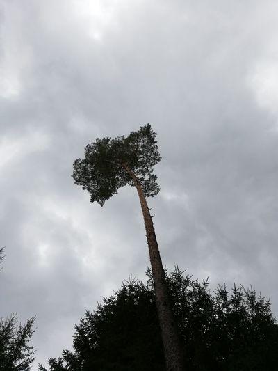 Tree Storm Cloud Tree Trunk Silhouette Pinaceae Tree Area Sky Cloud - Sky