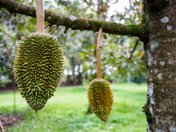Small durian Thorn Spiked Fruit Tree Growth Nature Cactus Outdoors No People Plant Day Freshness Close-up Beauty In Nature Durian King Of Fruit Durian Tree Durian Fruit Food Green Color Flower Field Freshness Nature Branch