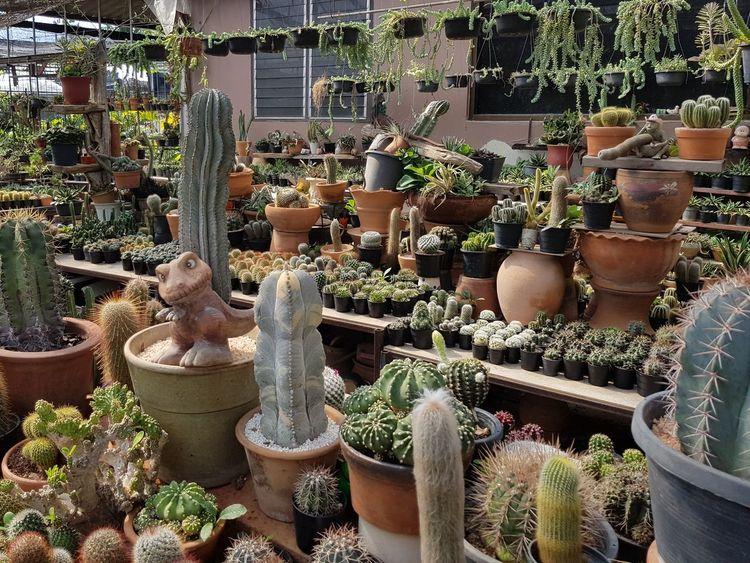 Flowers #Chiang Mai Plants Plant Plant Life Thailand Plant Part Chiang Mai | Thailand Plants And Flowers Cactus Cactus Garden