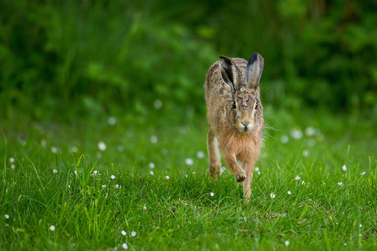 Close-up of hare on grassy field