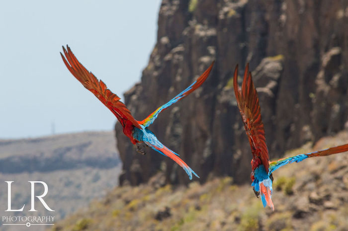 Colours in Flight Flying Bird Parrots Outdoors Day Nature Sky Feathers Tropical No People Colourful Las Palmas De Gran Canaria Las Palmas Majestic
