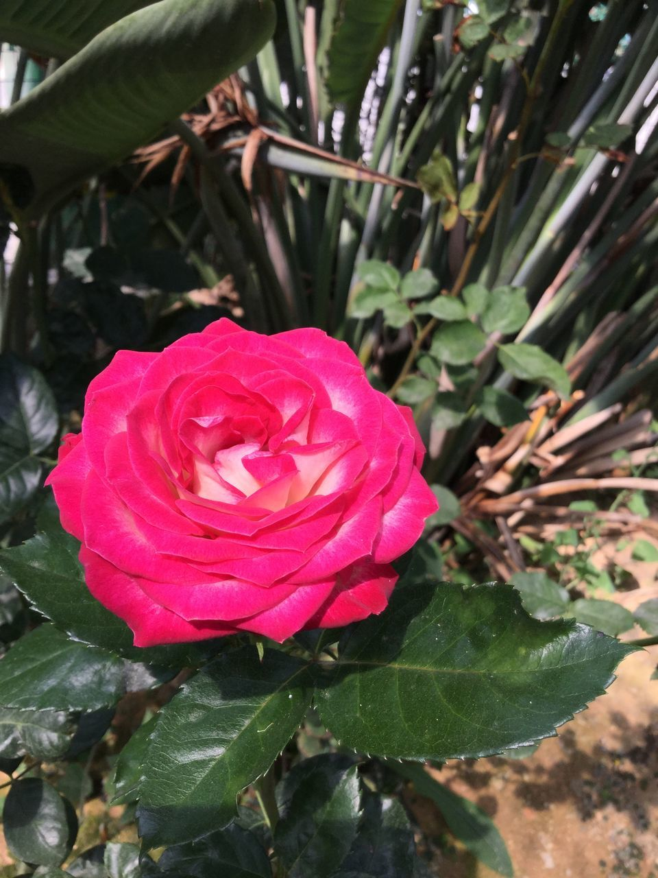 flower, petal, growth, leaf, nature, fragility, rose - flower, plant, flower head, beauty in nature, freshness, no people, blooming, day, close-up, red, outdoors, water