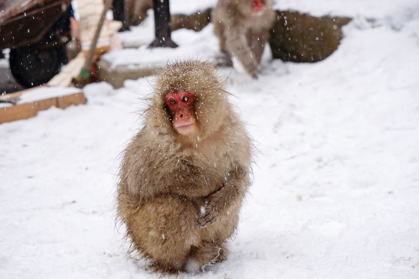 Winter Cold Temperature Snow Weather Animal Themes Nature Mammal Field Animals In The Wild White Color Japanese Macaque Outdoors No People Day Animal Wildlife Beauty In Nature Domestic Animals Snowmonkeys Jigokudani-Snow-Monkey-Park Nagano Prefecture,Japan Travel Destinations Livestock Hot Spring Christmastime One Animal