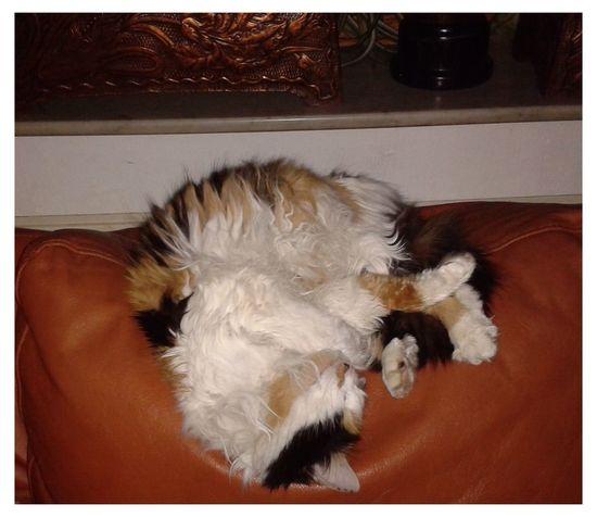 My Cat Mon Chat  Chat Cat Sleeping Sleepy Sommeil Angora Angoracat