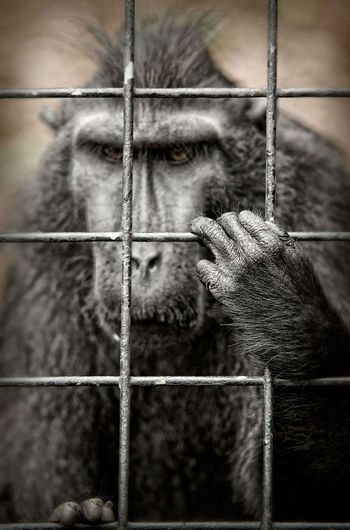 Animal Photography Animals In Captivity Ape Black And White Boredom Captured Animal Fence London Zoo Taking Photos