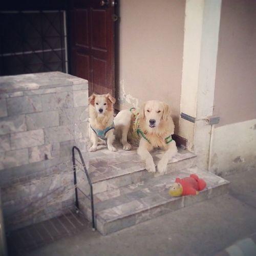 ครอบครัวตาตี่ ? Dog Dogstagram Goldenretriever Pet13