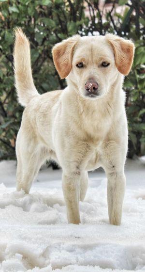 Dog Pets Animal Puppy Cute Winter Snow