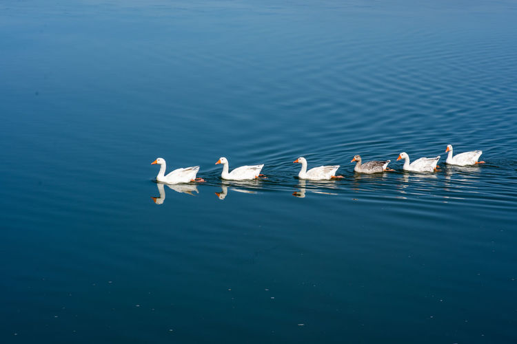 Family Water Animals In The Wild Animal Wildlife Animal Themes Group Of Animals Bird Animal Vertebrate Lake Swimming Waterfront Day Nature No People Blue Beauty In Nature High Angle View Floating On Water Animal Family Water Bird Togetherness Ducks