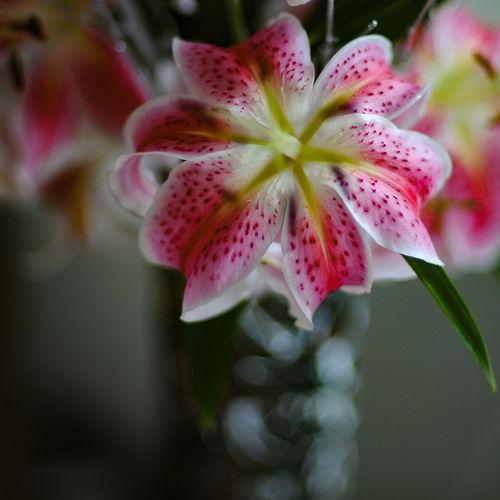 Nature Pink Stargazer StillLife Flowers Largeaperture Naturallight Stargazerlilies