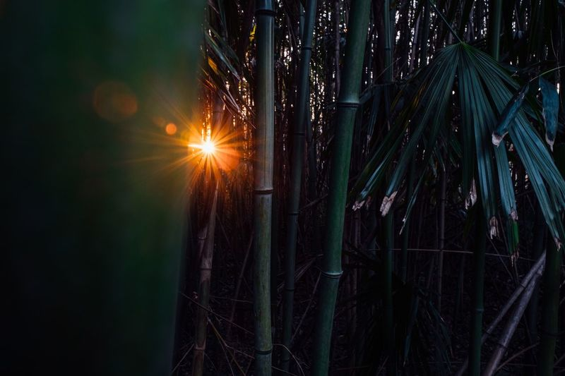 Sunset in bamboo forest Sun Sunset Japan Green Bamboo Bamboo Grove Bamboo - Plant Bamboo Bamboo No People Nature Sun Lens Flare Sunset Sky Plant Outdoors Tree Tranquility Growth Forest Sunlight Sunbeam Beauty In Nature Tranquil Scene Environment