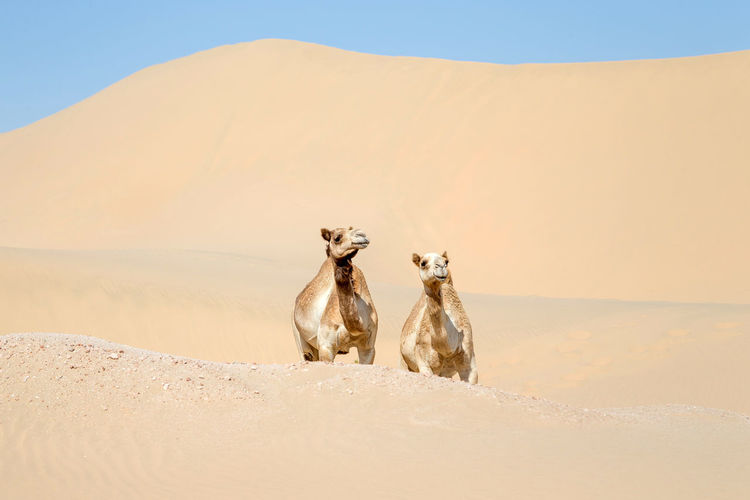 Two middle eastern camels in the desert in abu dhabi