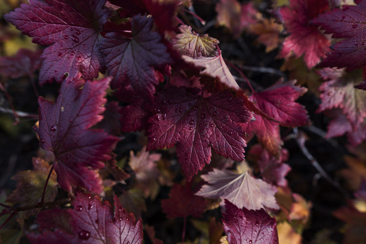 Autumn Beauty In Nature Change Close-up Day Flower Flowering Plant Focus On Foreground Fragility Freshness Growth Leaf Leaves Maple Leaf Maroon Nature No People Outdoors Pink Color Plant Plant Part Red Selective Focus Vulnerability