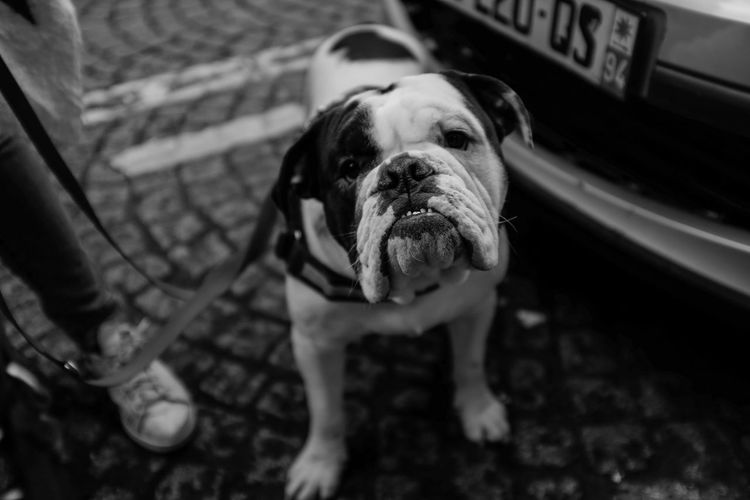 Dog Pet Bulldog Blackandwhite Bw Portrait English Bulldog Beutiful  Ugly Fresh On Market April 2016 Fresh On Market 2016