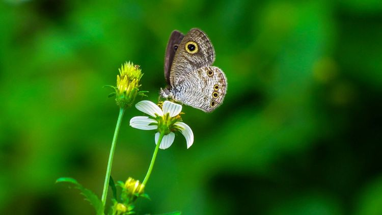 Name: Common Five-ring Species: Ypthima baldus Flower Butterfly - Insect Insect Close-up Animal Themes Plant Green Color Butterfly Flowering Plant In Bloom Plant Life Winged Leaves Leaf Vein Flower Head Petal Blossom EyeEmNewHere