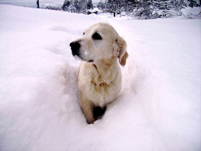 Pet Portraits Dog Snow Cold Temperature Winter Pets Animal Themes White Color Outdoors Bestfriend Walk Good Girl  One Animal No People Shades Of Winter