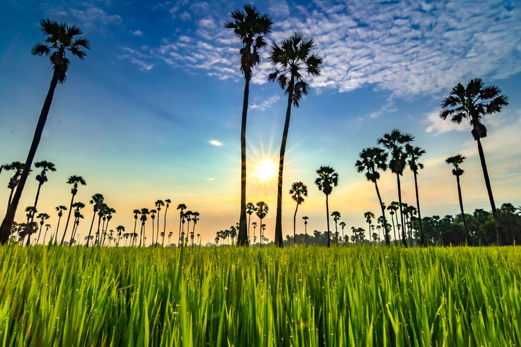 Sunrise at Dong Tan, Pathum Thani Sky Palm Tree Plant Growth Tropical Climate Beauty In Nature Tree Nature Sunset Land Field Cloud - Sky Agriculture Landscape Tranquility Crop  Environment Rural Scene Green Color No People Coconut Palm Tree Tall - High Outdoors Tropical Tree Plantation